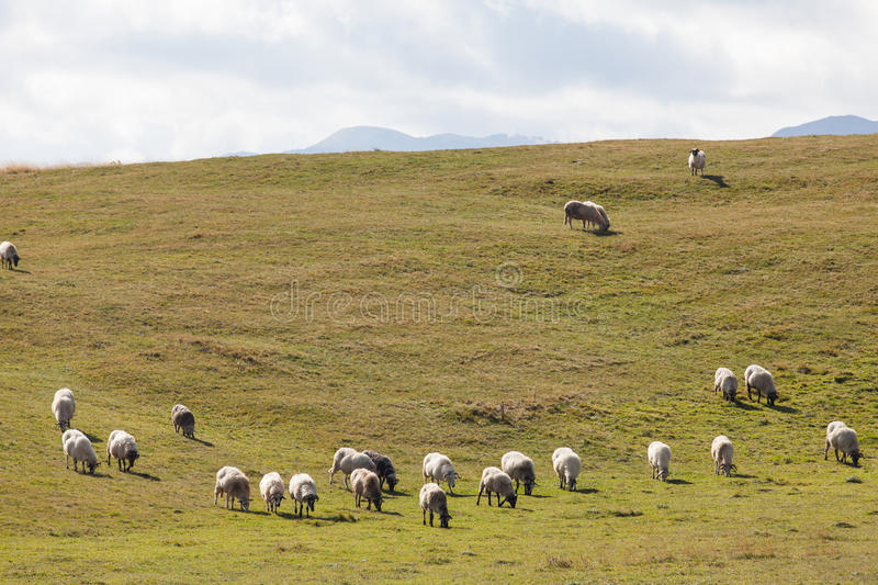 Flock of sheep on green grass. Durmitor, Montenegro royalty free stock photography