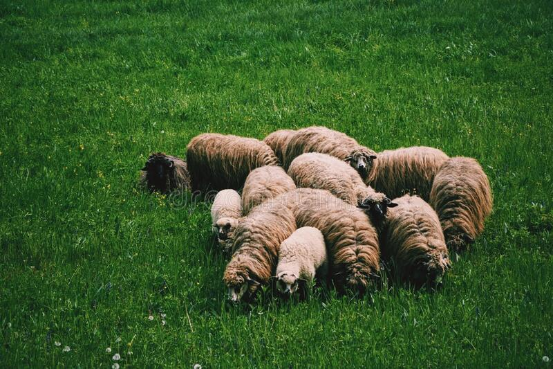 Flock of Sheep on Green Grass on Field at Daytime royalty free stock photo