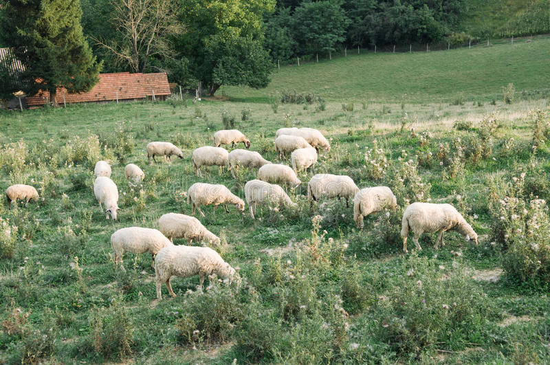 Flock of sheep. In green meadow stock photos