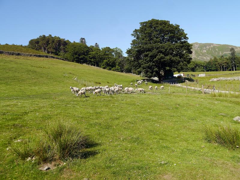 Flock of sheep on grassy field stock photography