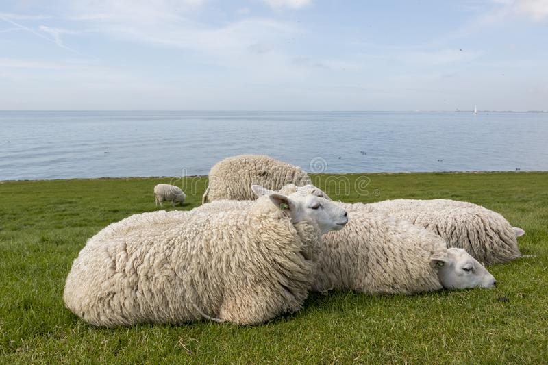 Sheep resting in the grass on the dyke next to the IJsselmeer. Flock of sheep laying close to each other in the grass with water in the background stock images