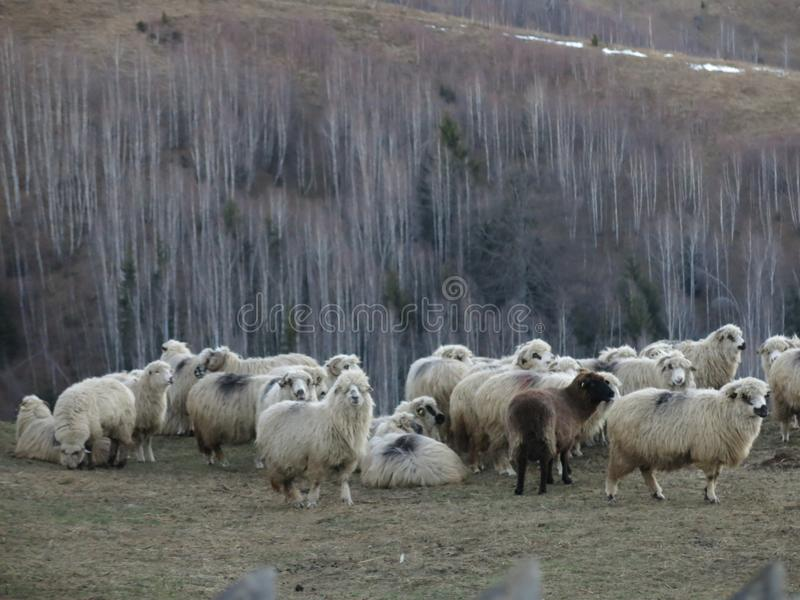 Flock of sheep in Magura in Romania. A flock of sheep on a meadow in the winter in Magura, Brasov county in Romania royalty free stock images