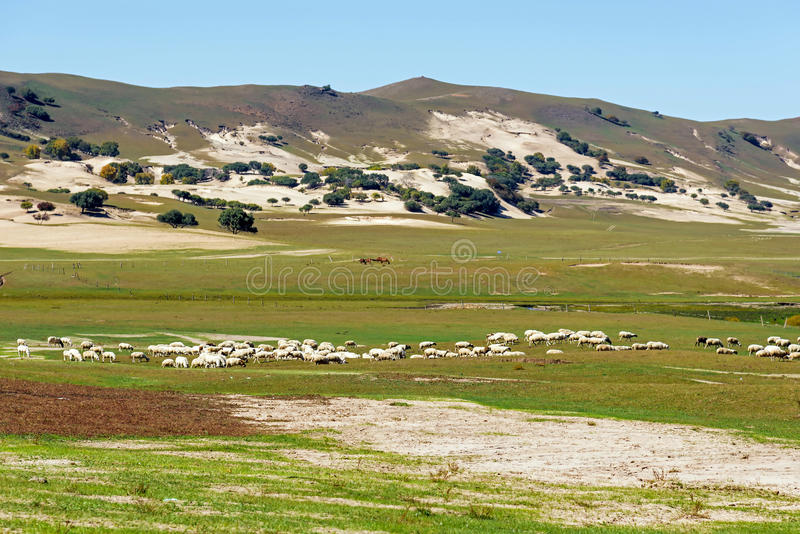 A flock of sheep in the meadow stock photo