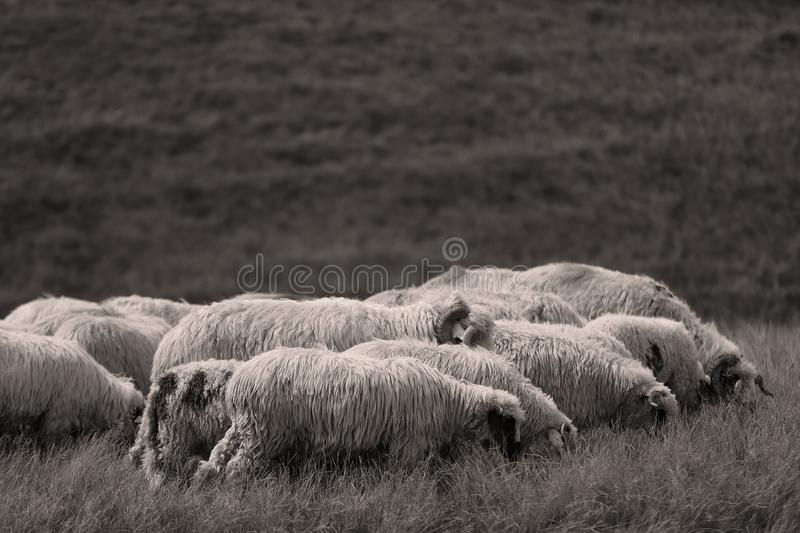 Sheep on meadows. Flock of sheep on meadows, close-up view stock images