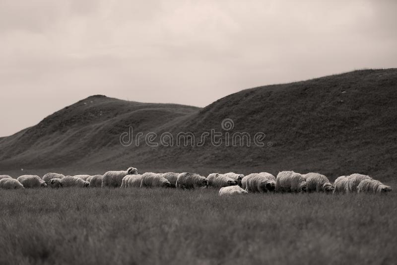 Sheep on meadows. Flock of sheep on meadows, close-up view stock image