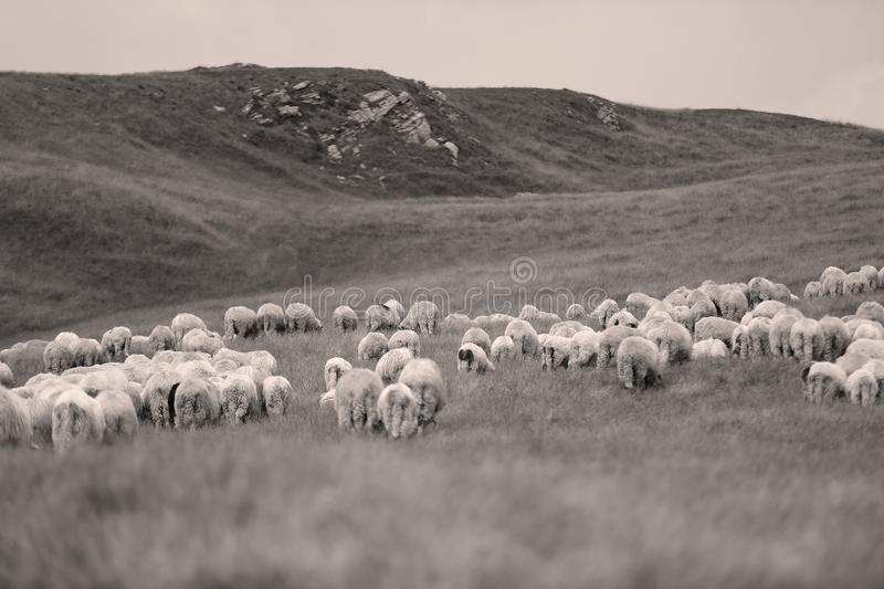 Sheep on meadows. Flock of sheep on meadows, close-up view royalty free stock images