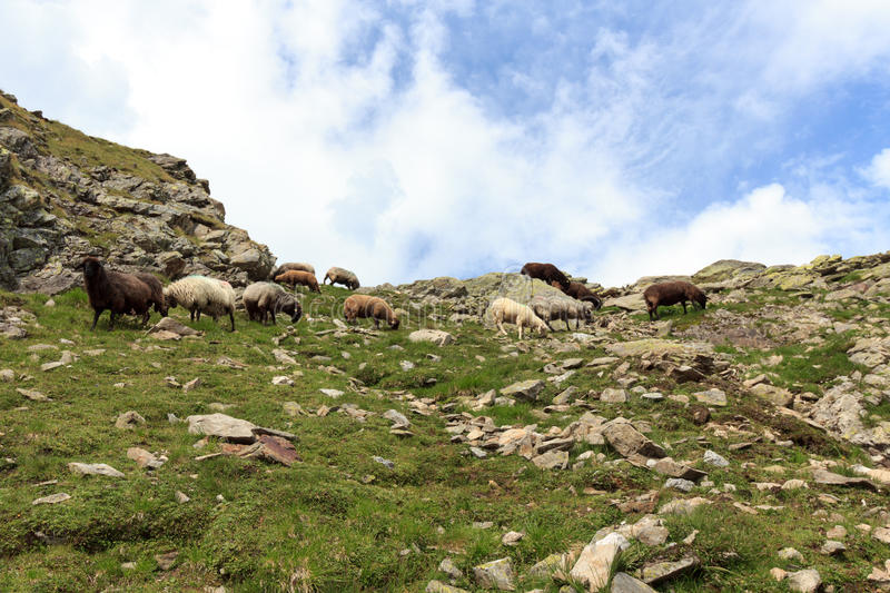 Flock of sheep in the mountains, Hohe Tauern Alps. Austria royalty free stock photography