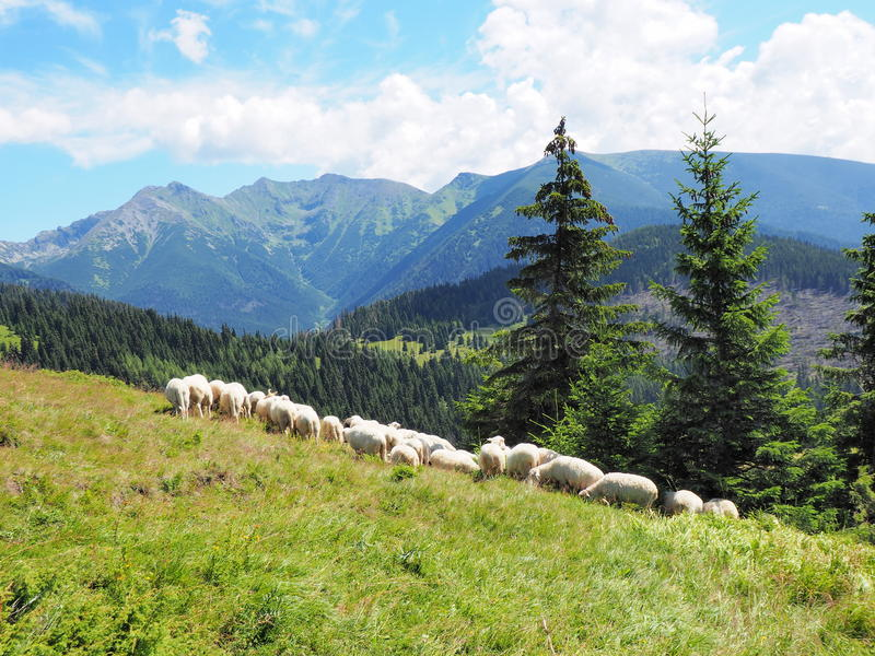 Flock of sheep in mountains :Tatry. Flock of sheep in mountains :Tatry, Slovakia stock image