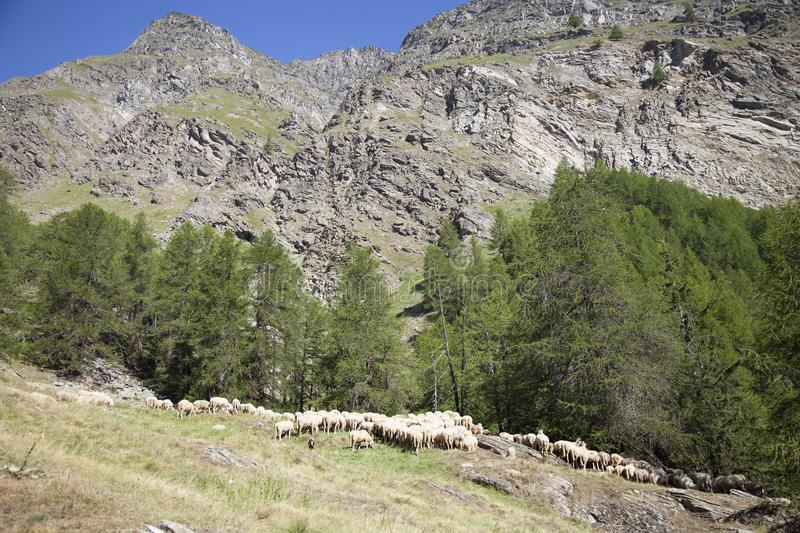 Flock of sheep in mountains under blue sky in italian national park gran paradiso. Flock of sheep in mountain forest under blue sky in italian national park gran royalty free stock photo