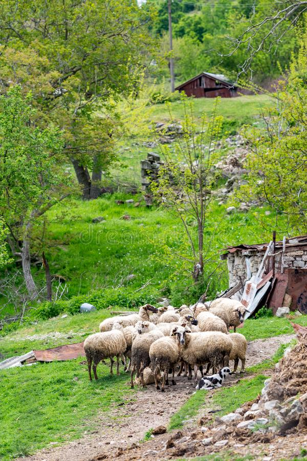 Flock of sheep near small mountain hut in Bulgaria. Flock of sheep gathered in a yard near small mountain hut in Bulgaria. Springtime green vertical landscape stock images