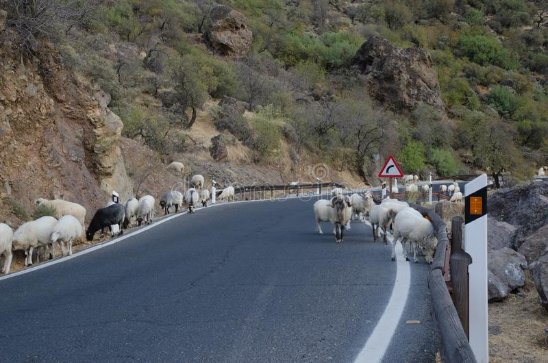 Flock of sheep Ovis aries on the road. The Nublo Rural Park. Tejeda. Gran Canaria. Canary Islands. Spain stock photo