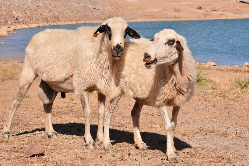 Flock of sheep. Photo picture flock of sheep in central spain stock photos