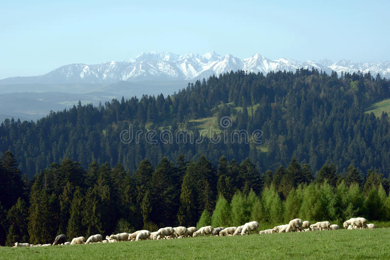 Flock of sheep in Pieniny mountains. Poland royalty free stock photography