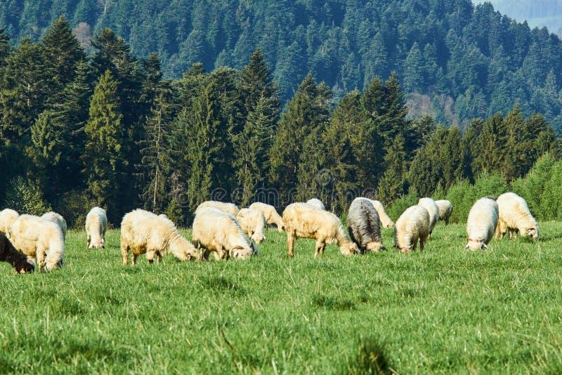 Flock of sheep in Pieniny mountains. Poland stock photo