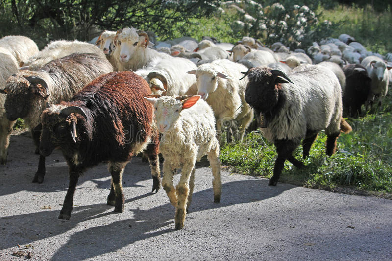 Flock of sheep returning from the pasture royalty free stock photo