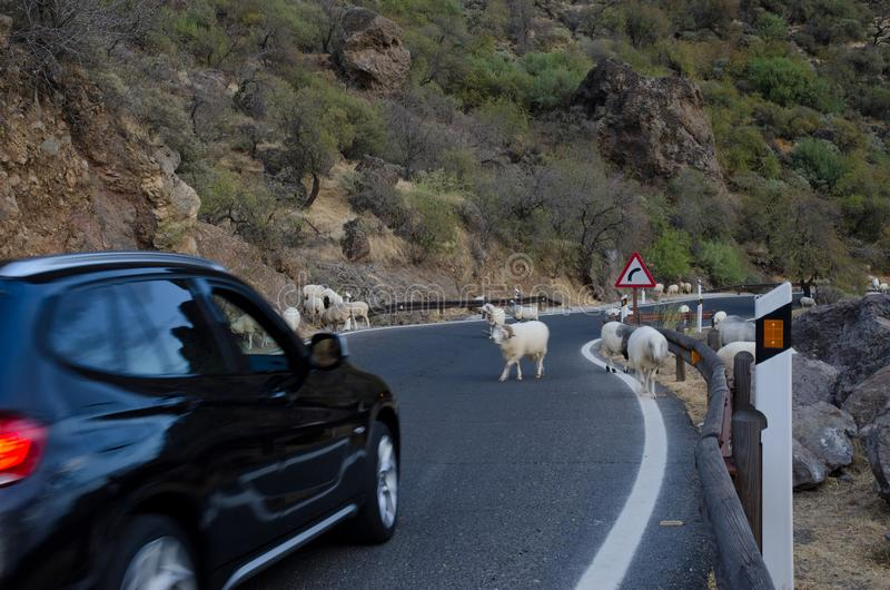 Flock of sheep on the road and car waiting. Flock of sheep Ovis aries on the road and car waiting. The Nublo Rural Park. Tejeda. Gran Canaria. Canary Islands royalty free stock image
