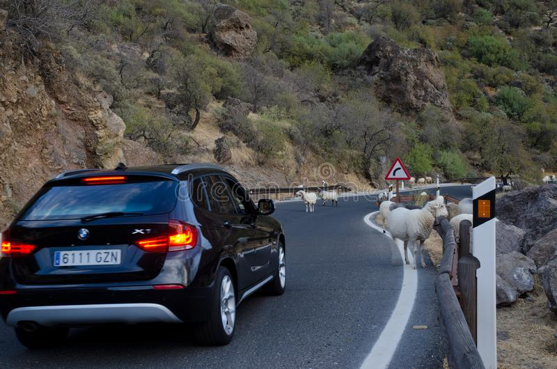 Flock of sheep on the road and car waiting. Flock of sheep Ovis aries on the road and car waiting. The Nublo Rural Park. Tejeda. Gran Canaria. Canary Islands stock images