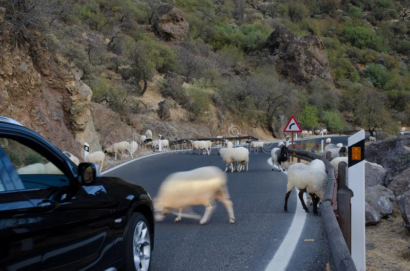 Flock of sheep on the road and car waiting. Flock of sheep Ovis aries on the road and car waiting. The Nublo Rural Park. Tejeda. Gran Canaria. Canary Islands royalty free stock photography