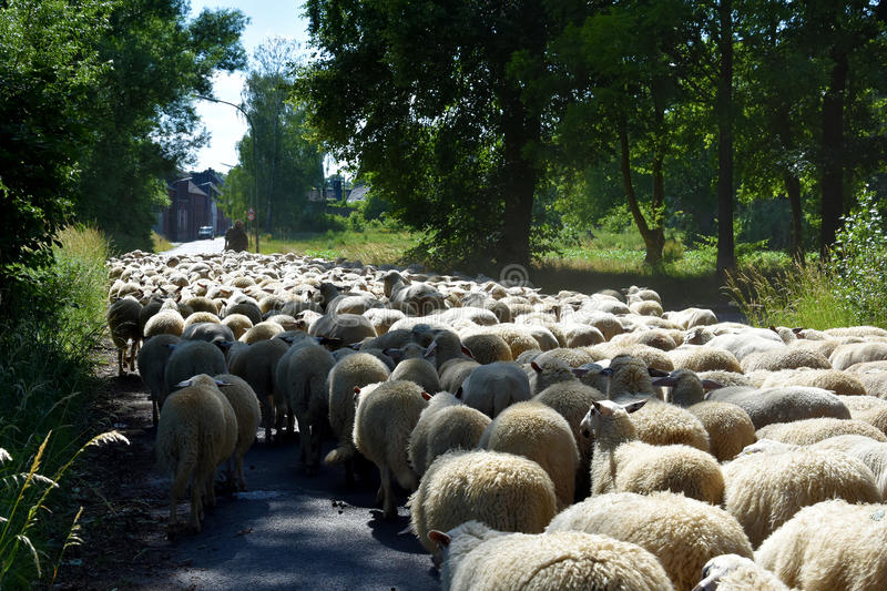 Flock of sheep. With shepherd on a road in a small town in Germany blocking the whole street stock photos
