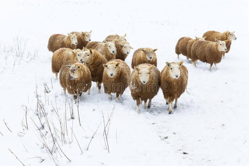 Flock Of Sheep In Snow Stock Images