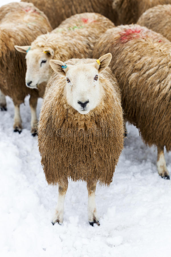 Download Flock of Sheep in Snow stock photo. Image of snow, portrait - 29161398