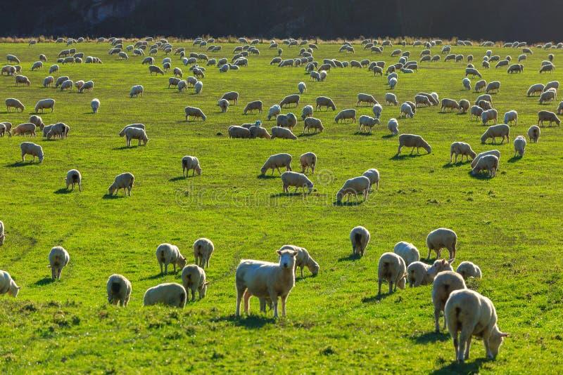 Flock of Sheep, South Island, New Zealand stock photo