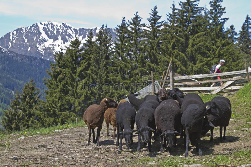 Download Flock Of Sheep In South Tyrol Stock Image - Image: 25956833