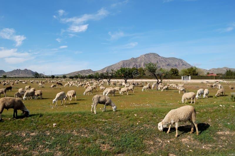 Flock of sheep, spanish farming stock photography