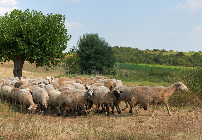 Flock of sheep in summer Bulgaria. Summer rural scene with flock of sheep, Rhodope mountain, Bulgaria royalty free stock images