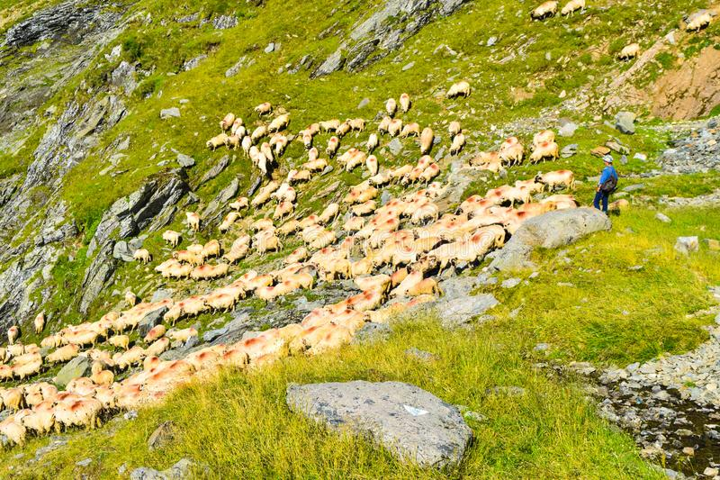 The flock of sheep royalty free stock photography