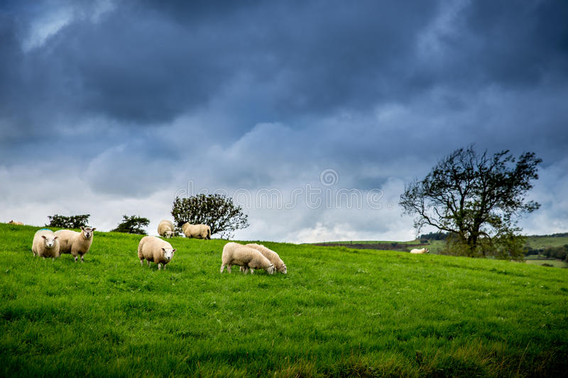 Flock of Sheep Under The British Weather royalty free stock photography