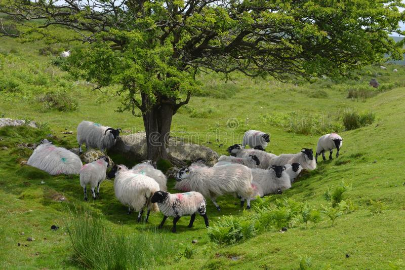 Flock of sheep under a tree, Dartmoor National Park. Sheep resting in the shade of a tree ion a hot summer day, Dartmoor National Park, Devon, England royalty free stock image