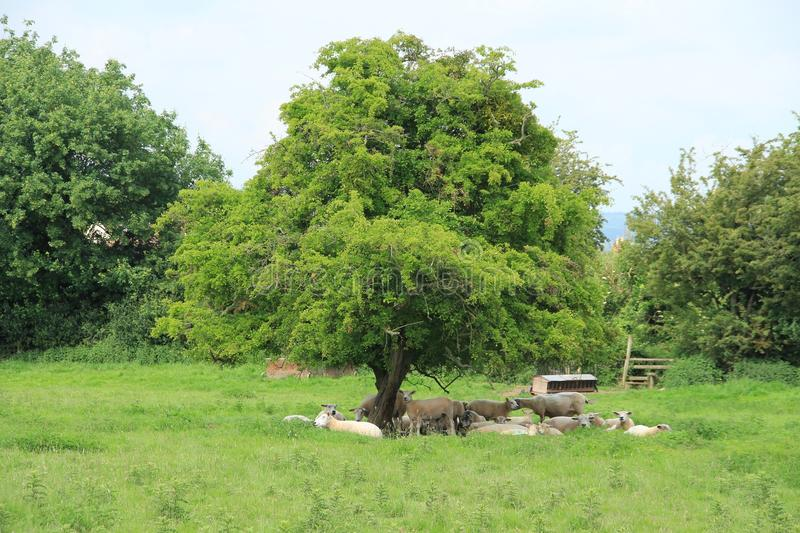 Flock of sheep under the tree in the shadow in Wales. Blue sky with clouds and the flock of sheep in the shadow under the tree at the country side in Hay-on-Wye stock image