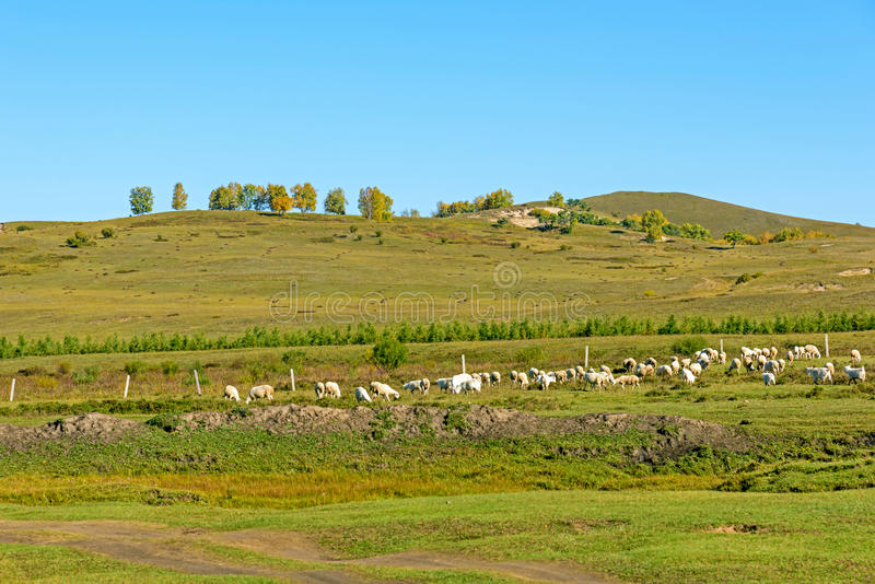 A flock of sheep on The vast grassland royalty free stock image