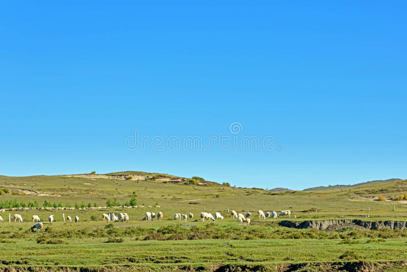 A flock of sheep on The vast grassland stock photos
