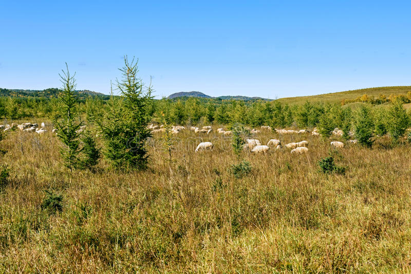 A flock of sheep on The vast grassland royalty free stock photo
