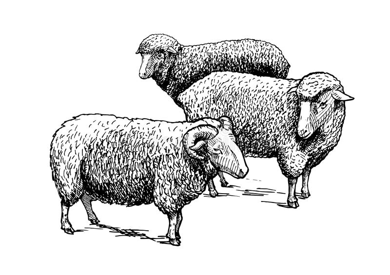 Flock of sheep. Vector hand drawn illustration of flock of sheep in vintage engraved style. Black and white, isolated on white vector illustration