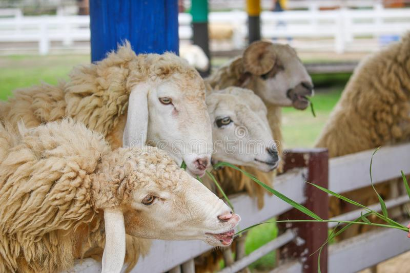A flock of sheep is vying to eat the green grass in a white pen royalty free stock image