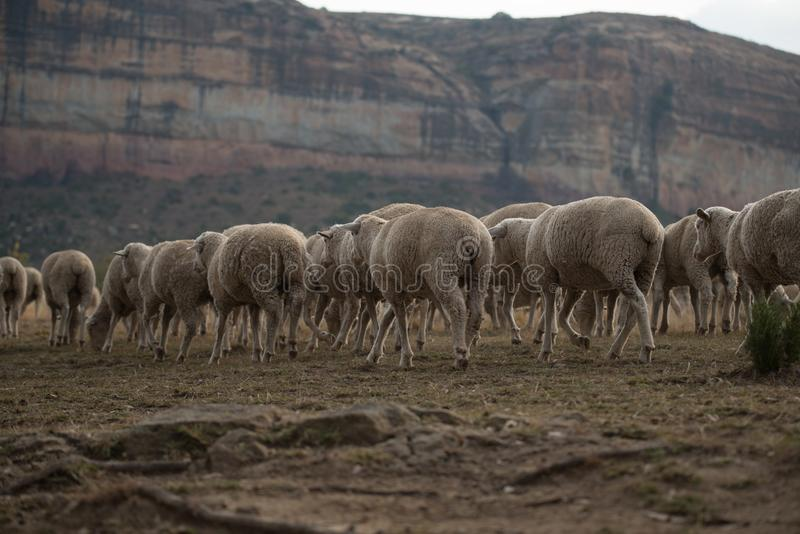 Flock of sheep walking in the late afternoon on an African Farm royalty free stock images