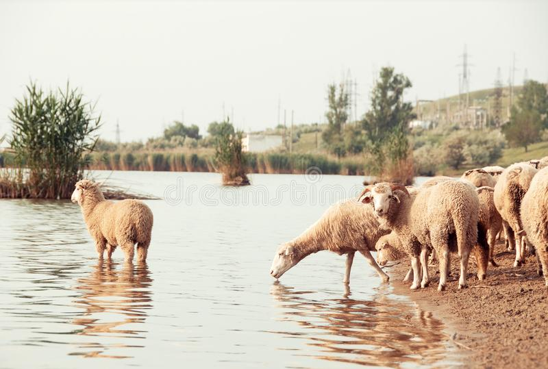 Flock of sheep on a watering hole. Sheep drinking water on the. Shore of the lake stock photography