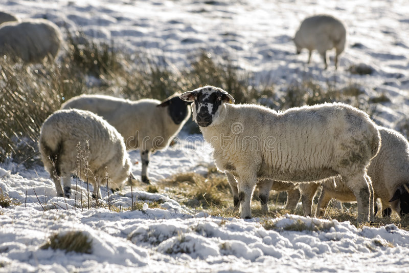 Flock Of Sheep In Winter Royalty Free Stock Image