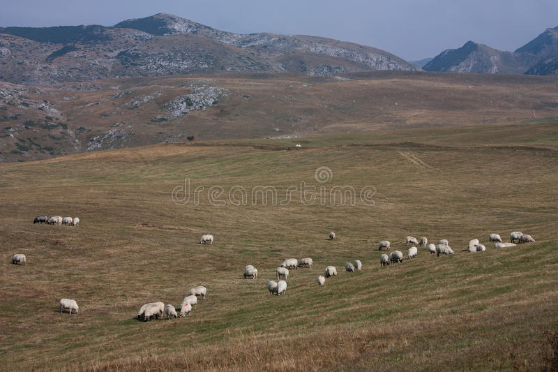 Flock Of Sheeps Stock Images