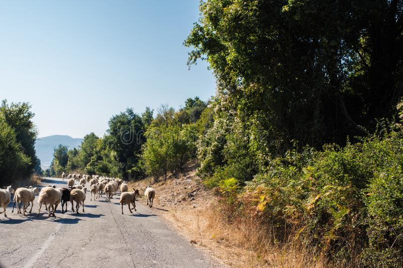 Flock of sheeps blocked a road to cars. A lot sheeps graze on a meadow of mountain at sunset of Greece. stock image