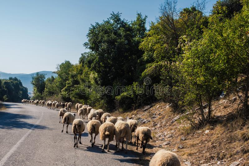 Flock of sheeps blocked a road to cars. A lot sheeps graze on a meadow of mountain at sunset of Greece. royalty free stock photo