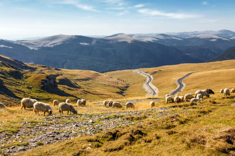 Flock of sheeps eating grass on top of the mountain. In Romania royalty free stock photography