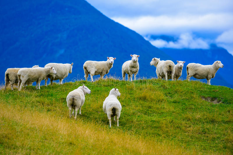 Flock of sheeps on the hill stock images