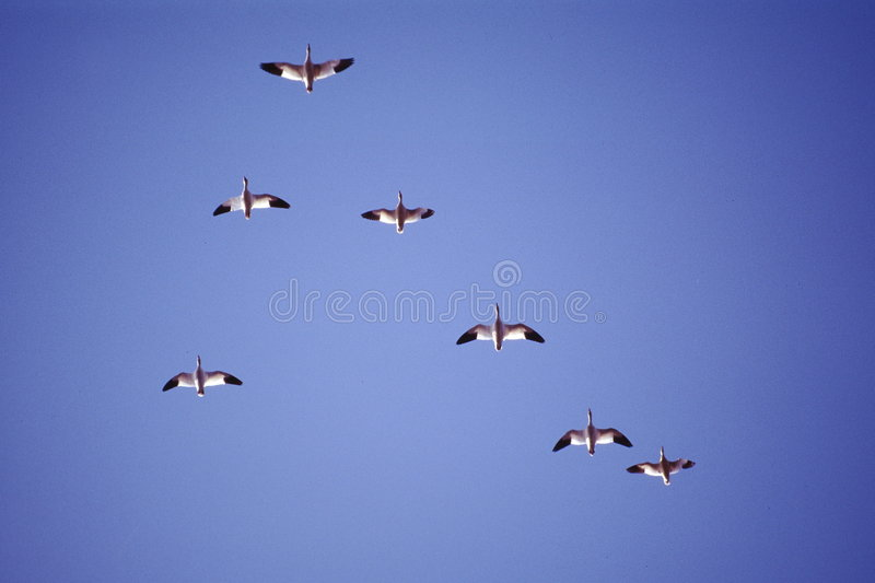 Download Flock of Snow Geese stock image. Image of birds, flying - 2554257
