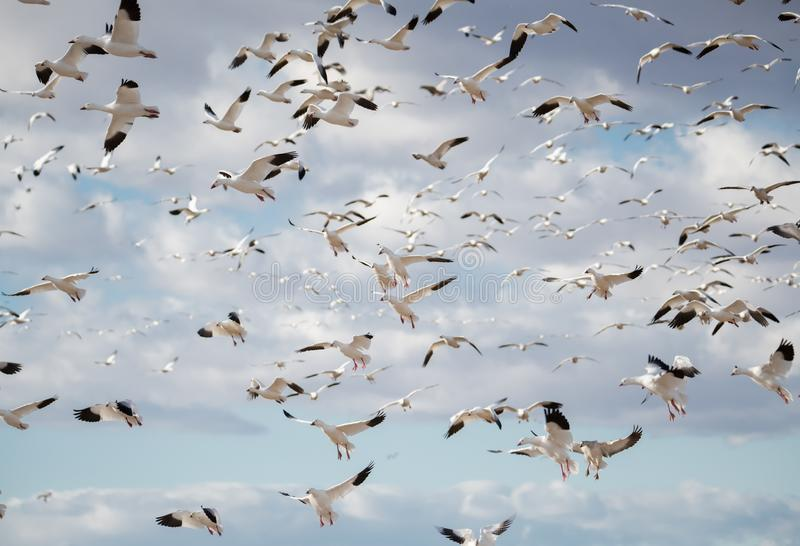 Flock of snow geese coming in to land. Flock of snow geese coming in for a landing in Bosque del Apache New Mexico royalty free stock images