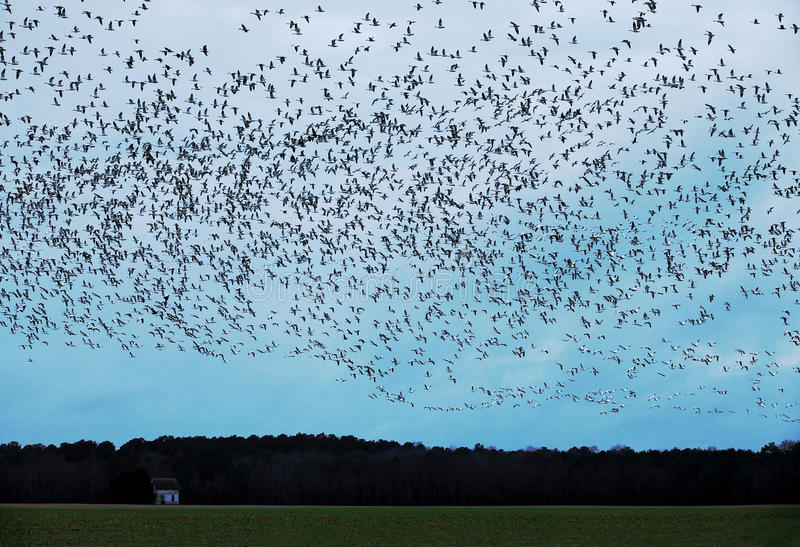 A flock of Snow geese in the farm field in Virginia stock image