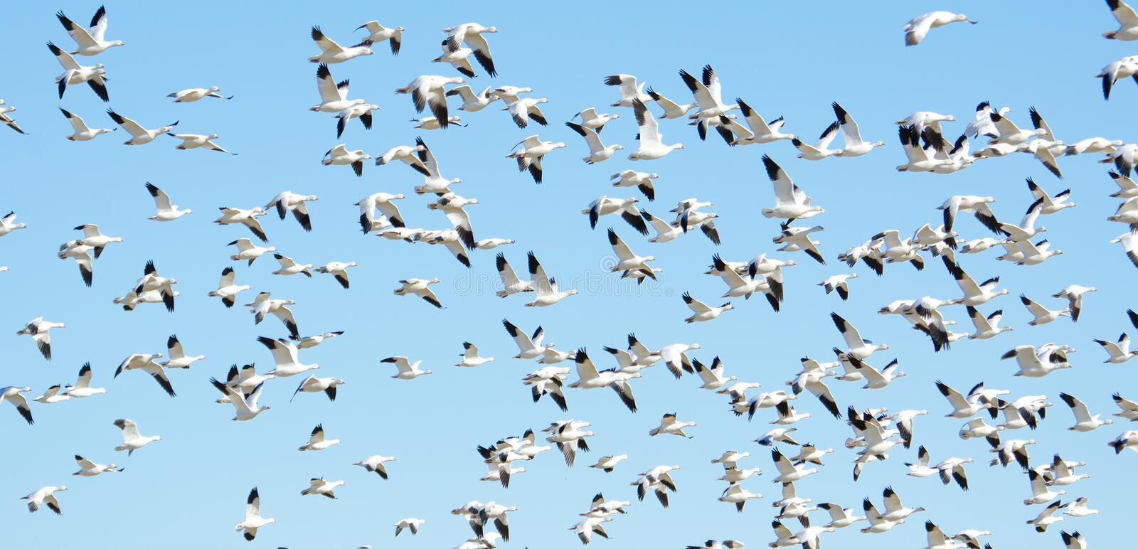 Flock of snow geese in flight, Migration royalty free stock image